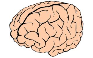 Анатомия и строение мозга. Как мозг воспринимает информацию?