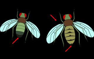 Влияние ультрафиолетового излучения на мух