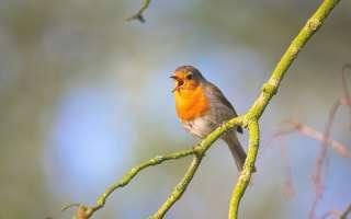 Звуки и пение птиц для детей