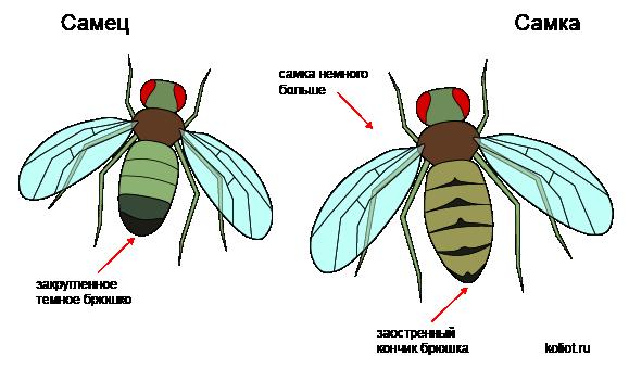Самец и самка мухи