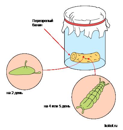 Первые этапы развития плодовых мух