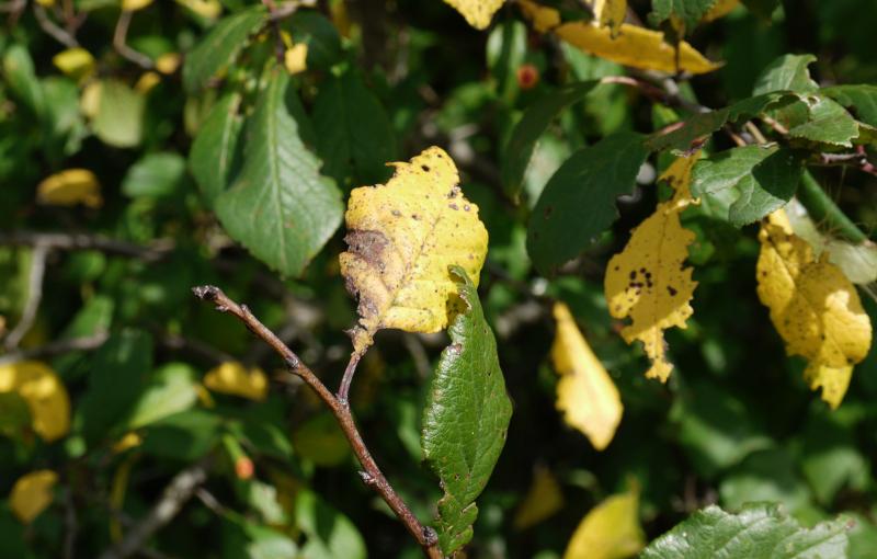 Желтые листья на дереве